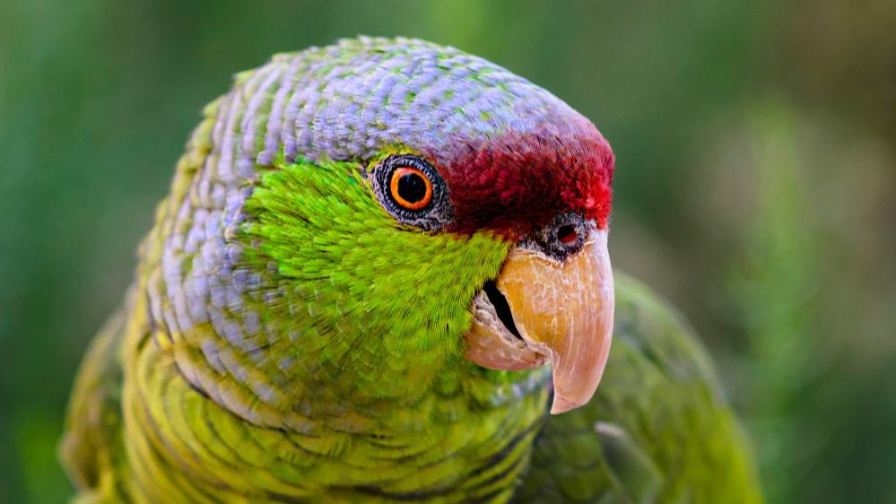 Amazoňan fialovotemenný