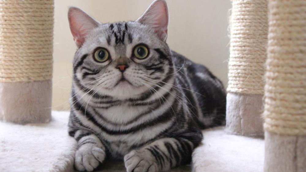 Americká krátkosrstá kočka