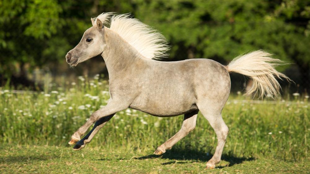 Americký miniaturní kůň