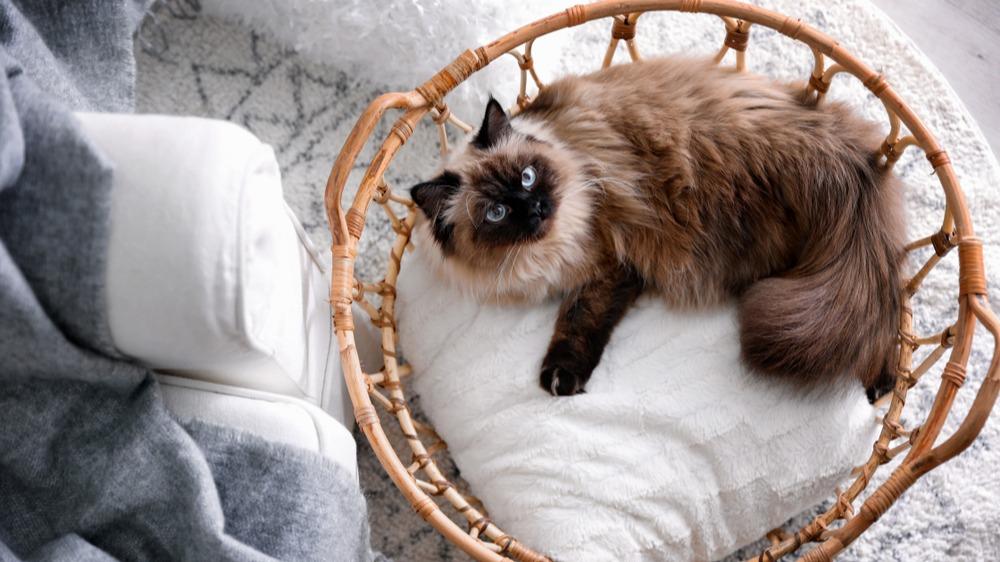 Balijská kočka