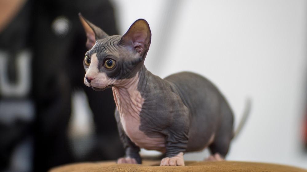 Bambinská kočka