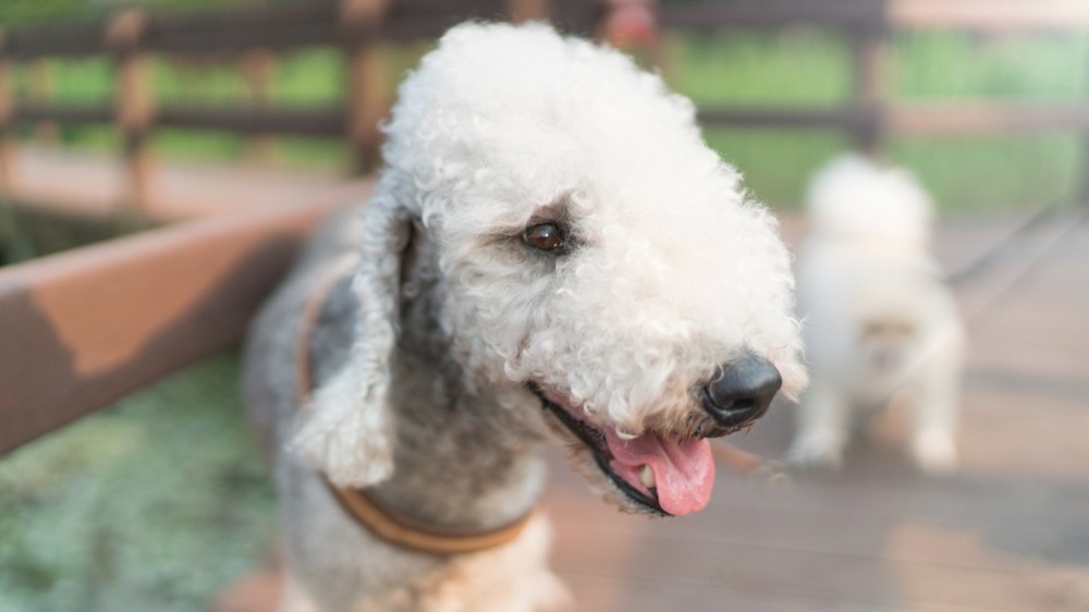 Bedlington teriér