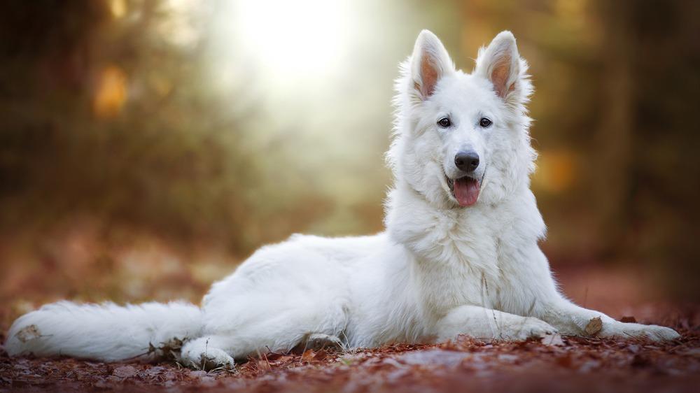 Bílý švýcarský ovčák