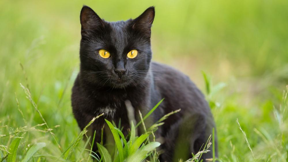 Bombajská kočka