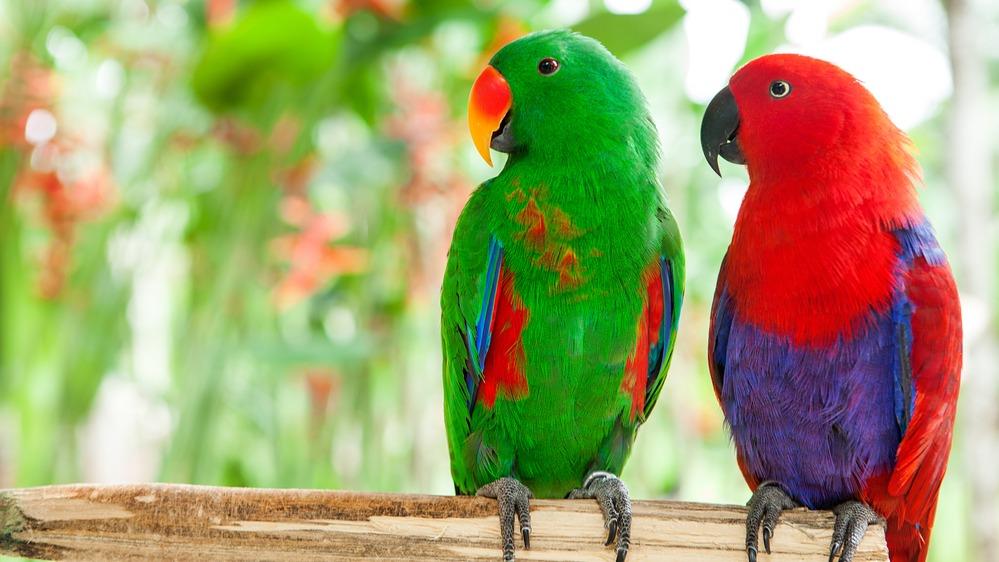 Eklektus různobarvý