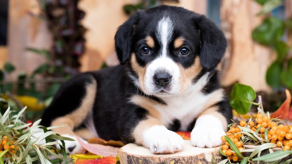 Entlebušský salašnický pes