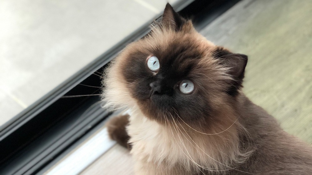 Himalájská kočka