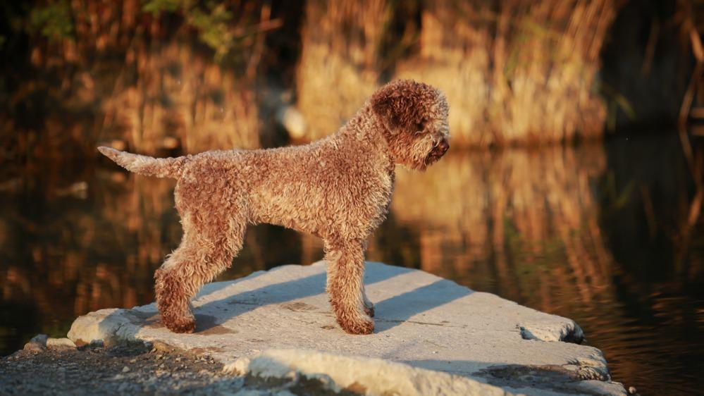 Italský vodní pes