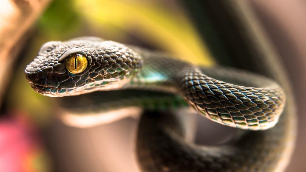 Jedovatý had
