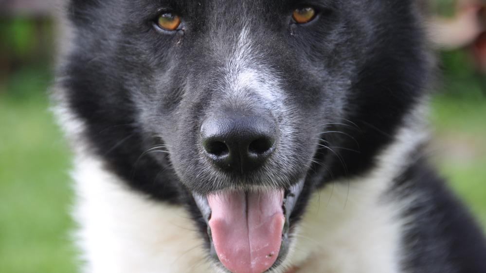 Karelský medvědí pes