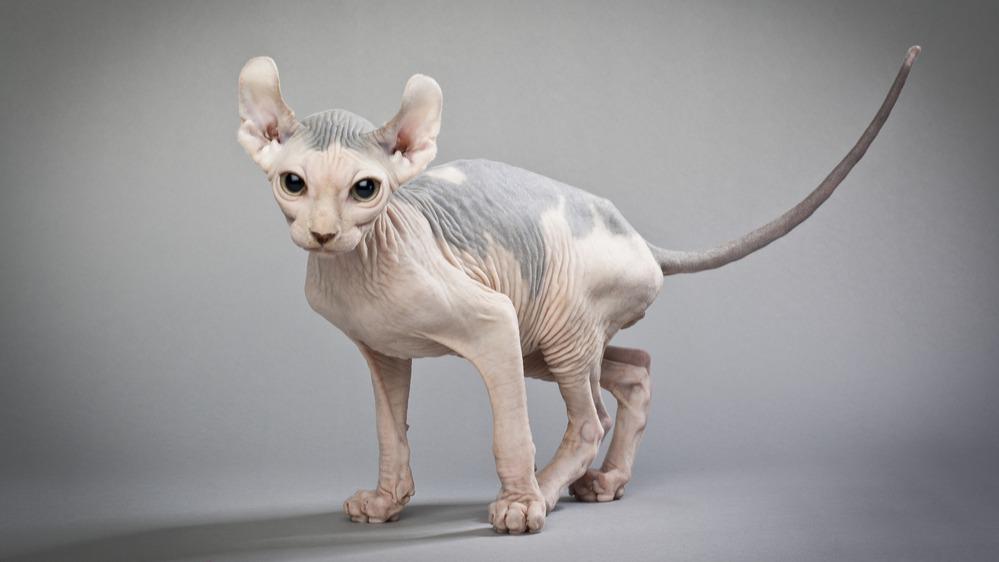 Kočičí elf