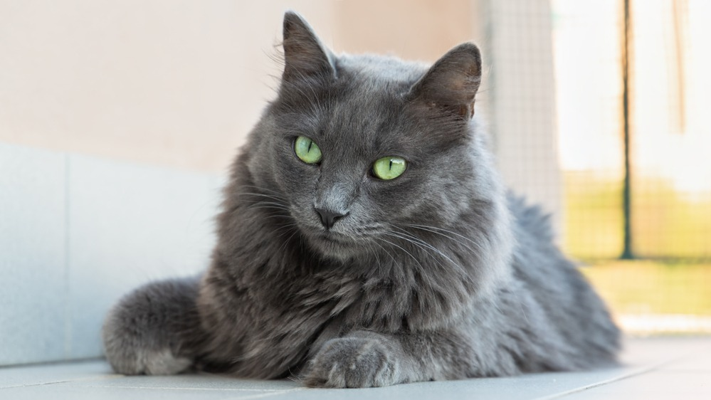 Kočka nebelung