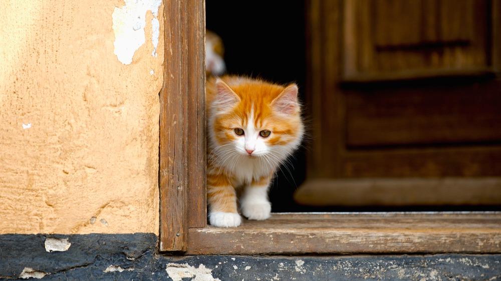 Kymerská kočka