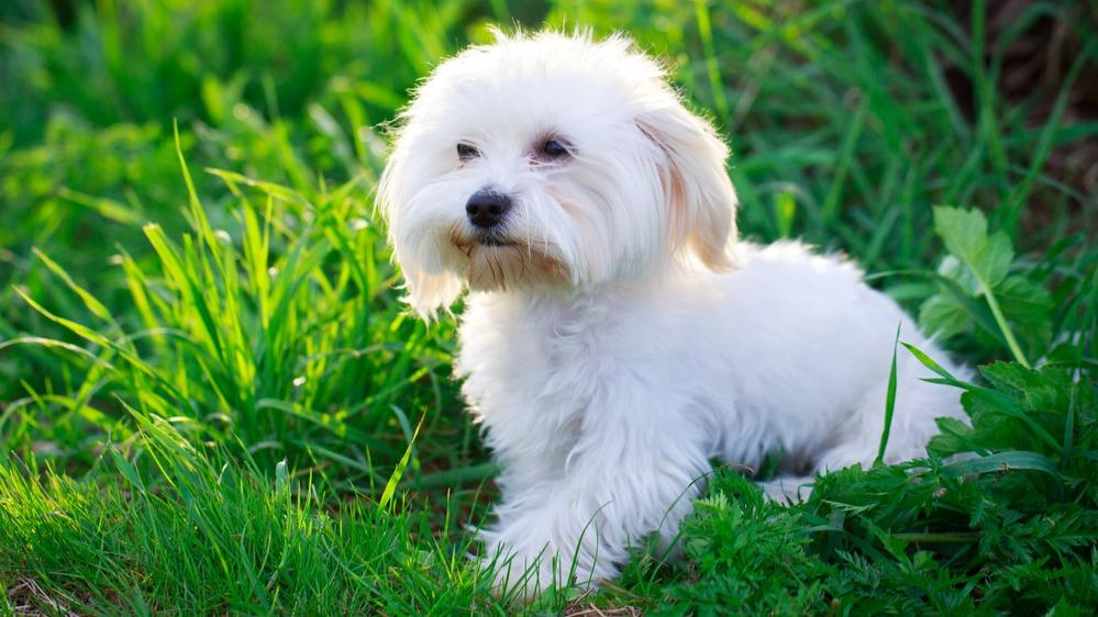 Maltézský psík