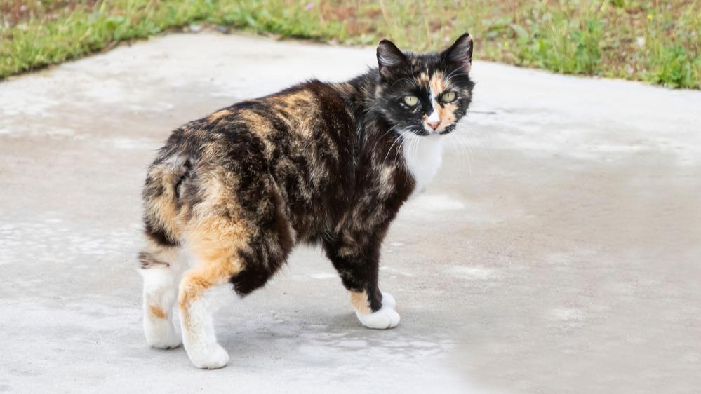 Manská kočka
