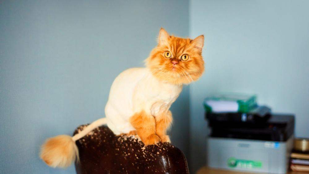 Oholená kočka