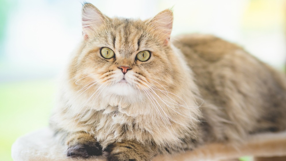 Perská kočka