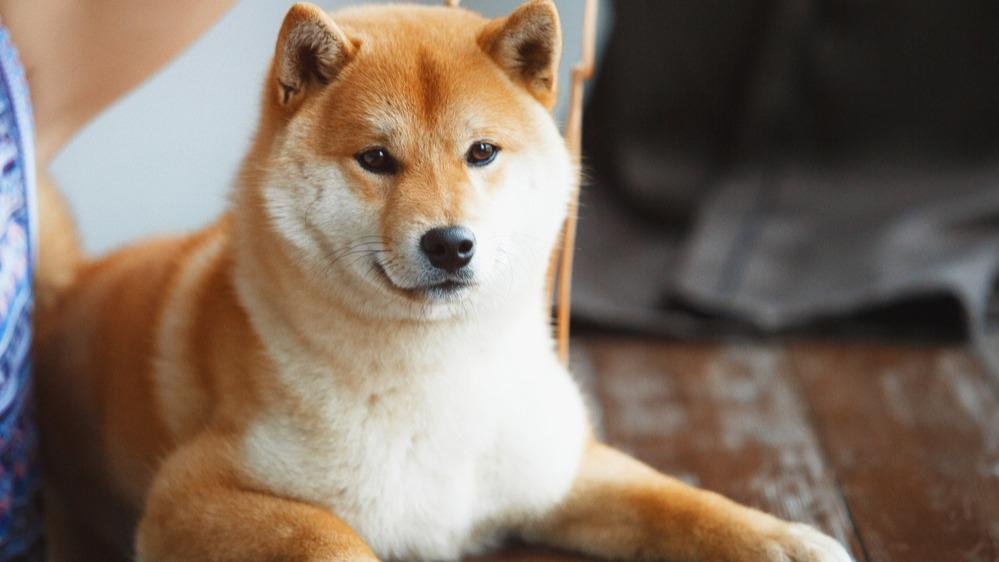 Shiba-inu