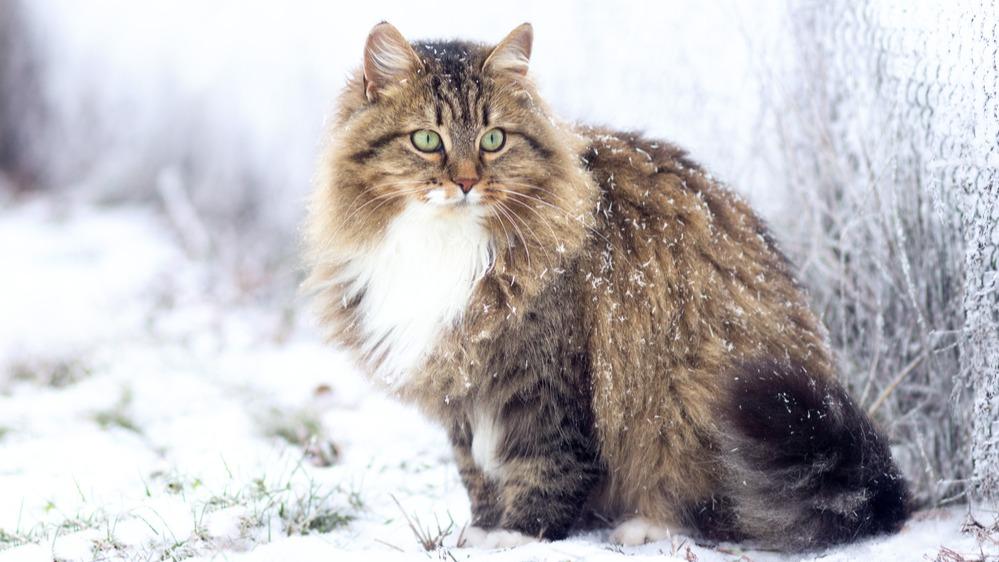 Sibiřská kočka