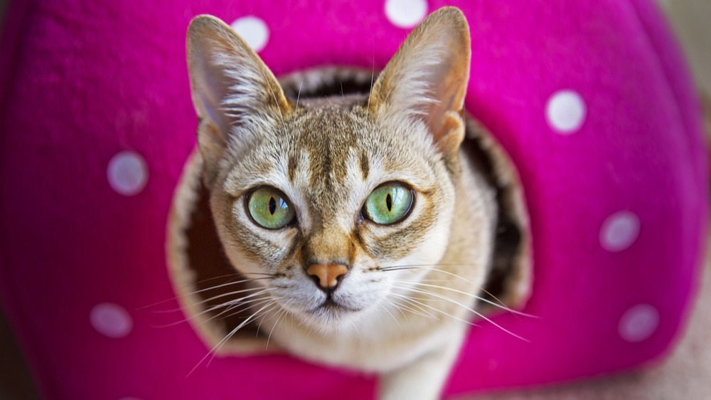 Singapurská kočka